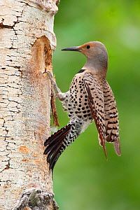 Northern Flicker (Colaptes auratus) female, red-shafted race, landing at its nest hole in Quaking Aspen (Populus tremuloides) trunk, Mono Lake Basin, California, USA.  -  Marie Read