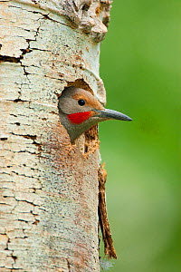 Northern Flicker (Colaptes auratus) male, red-shafted race, looking out of its nest hole in Quaking Aspen (Populus tremuloides) trunk, Mono Lake Basin, California, USA  -  Marie Read