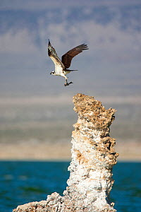 Osprey (Pandion haliaetus) taking flight from tufa tower carrying a fish, Mono Lake, California, USA - Marie Read