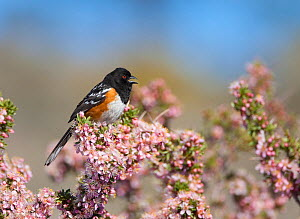 Spotted Towhee (Pipilo maculatus) male singing while perched in flowering Desert Peach (Prunus andersonii) Mono Lake Basin, California, USA  -  Marie Read