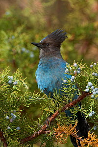 Steller's Jay (Cyanocitta stelleri) perched on  Juniper branch, with berries, Mono Lake Basin, California, USA  -  Marie Read