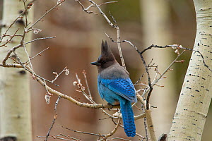 Steller's Jay (Cyanocitta stelleri) perched on branch of Quaking Aspen (Populus tremuloides) in early spring, Mono Lake Basin, California, USA  -  Marie Read