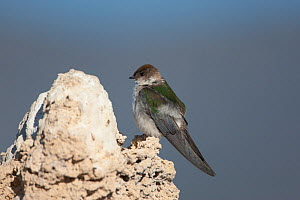 Violet-green Swallow (Tachycineta thalassina) female perched on tufa formation. This species nests in holes in the tufa formations. Mono Lake, California, USA.  -  Marie Read