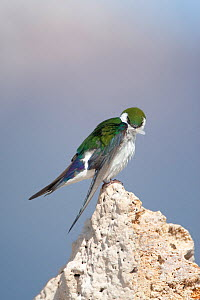 Violet-green Swallow (Tachycineta thalassina) male using its bill to preen its feathers, while perched on tufa, Mono Lake, California, USA  -  Marie Read