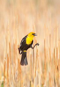 Yellow-headed Blackbird (Xanthocephalus xanthocephalus) male perched by clinging between two cattail stems in marsh, Mono Lake Basin, California, USA  -  Marie Read