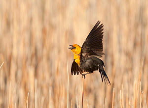 Yellow-headed Blackbird (Xanthocephalus xanthocephalus) male calling and performing courtship / territorial display in cattail marsh, Mono Lake Basin, California, USA - Marie Read