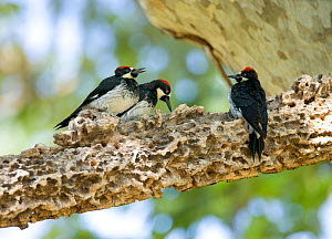 Acorn Woodpeckers (Melanerpes formicivorus) family group of two young males (age determined by eye color) on either side of an adult male, Santa Barbara County, California, USA, July.  -  Marie Read