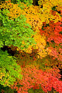 Pattern of green yellow, and red Maple  (Acer sp.)leaves in autumn, North Chagrin Reservation, Ohio, USA, October. - Marie Read