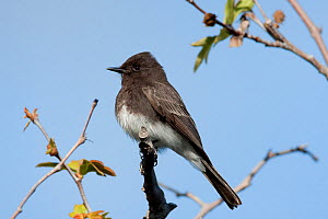 Black Phoebe (Sayornis nigricans), adult, California, USA, March.  -  Marie Read