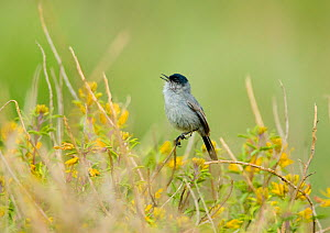 California Gnatcatcher (Polioptila californica), male singing amid yellow Bladderpod (Isomeris arborea) flowers, California, USA. The bird is listed as threatened under the United States Endangered Sp...  -  Marie Read