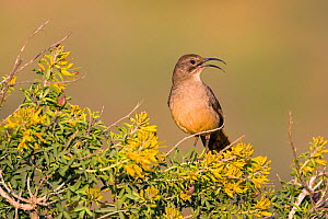 California Thrasher (Toxostoma redivivum), singing while perched amid yellow flowers of Bladderpod (Isomeris arborea), Crystal Cove State Park, California, USA, February.  -  Marie Read