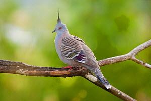 Crested Pigeon (Ocyphaps / Geophaps lophotes) perching. Atherton Tableland, Queensland, Australia, October.  -  Marie Read