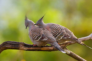 Crested Pigeons (Ocyphaps / Geophaps lophotes) pair, with one preening its mate as part of courtship. Atherton Tableland, Queensland, Australia, October.  -  Marie Read