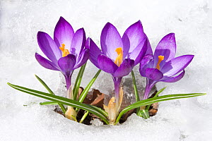 Purple Crocus (Crocus angustifolius) flowers emerging through snow in early spring, New York, USA. - Marie Read