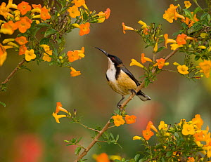 Eastern Spinebill (Acanthorhynchus tenuirostris) (a member of the honeyeater family, Meliphagidae) perched amid orange flowers Atherton Tableland, Queensland, Australia, October.  -  Marie Read