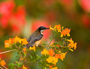 Eastern Spinebill (Acanthorhynchus tenuirostris) (a member of the honeyeater family, Meliphagidae) sipping nectar from orange flowers, Atherton Tableland, Queensland, Australia, October.  -  Marie Read