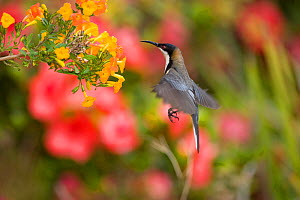 Eastern Spinebill (Acanthorhynchus tenuirostris), (a member of the honeyeater family, Meliphagidae), hovering to sip nectar from orange flowers Atherton Tableland, Queensland, Australia, October.  -  Marie Read