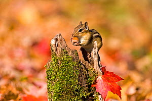Eastern Chipmunk (Tamias striatus) with an acorn in autumn. New York, USA, October. - Marie Read