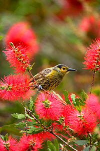 Macleay's Honeyeater (Xanthotis macleayana) perching amid bottlebrush (Callistemon sp.) flowers. Atherton Tableland, Queensland, Australia, October.  -  Marie Read