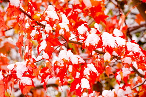 Red Maple (Acer rubrum) leaves covered with early snow in autumn. Ithaca, New York, USA, October.  -  Marie Read