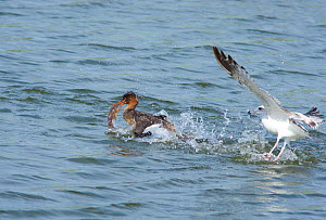 Red-breasted Merganser (Mergus serrator) with large fish, trying to escape attempted robbery by Ring-billed Gull (Larus delawarensis), Bolsa Chica Ecological Reserve, California, USA, February. - Marie Read