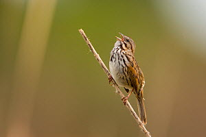 Song Sparrow (Melospiza / Zonotrichia melodia) adult singing. Newport Bay, California, USA, February.  -  Marie Read
