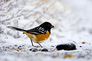 Spotted Towhee (Pipilo maculatus), male eating a seed, perching on snowy ground. Mono Basin, California, USA, February.  -  Marie Read