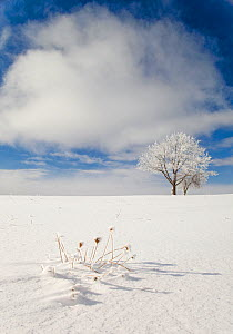 Tree covered with rime ice standing in snow-covered field, Ithaca, New York, USA. January 2010.  -  Marie Read