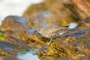Wandering Tattler (Tringa incana), nonbreeding plumage, walking on a rock at tide pool edge, Crystal Cove State Park, California, USA, February.  -  Marie Read
