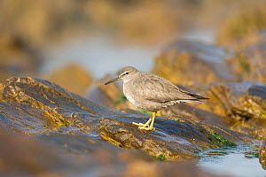 Wandering Tattler (Tringa incana), nonbreeding plumage, perched on a rock at tide pool, Crystal Cove State Park, California, USA, February.  -  Marie Read