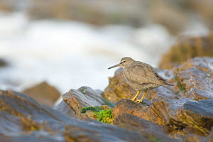 Wandering Tattler (Tringa incana), nonbreeding plumage, perched on a rock at ocean's edge, Crystal Cove State Park, California, USA, February.  -  Marie Read