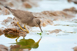 Wandering Tattler (Tringa incana), nonbreeding plumage, foraging in tide pool, Crystal Cove State Park, California, USA, February.  -  Marie Read