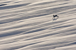 Mountain hare (Lepus timidus) running across wind swept snow field, near Carrbridge, Cairngorms National Park, Scotland, January 2010. Highly commended in the Habitat category of the BWPA competition... - Mark Hamblin