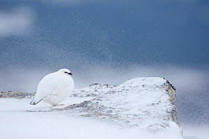 Ptarmigan (Lagopus mutus) in winter plumage, Grampian Mountains, Scotland, February 2010. Highly commended in the Habitat category of the BWPA competition 2010 - Mark Hamblin