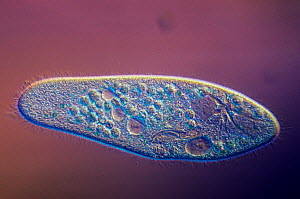 Living ciliate protozoa (Paramecium caudatum) with contractile vacuoles. LM X110.  -  Visuals Unlimited
