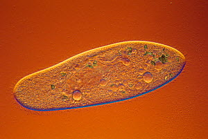 Living ciliate protozoa (Paramecium multimicronucleatum) with contractile vacuoles. DIC, LM 1000.  -  Visuals Unlimited