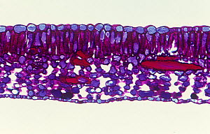 Cross-section of a (Fuchsia sp) leaf. LM X35.  -  Visuals Unlimited
