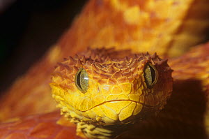 African bush viper (Atheris squamiger) red color phase, Central and Western Africa. - Visuals Unlimited