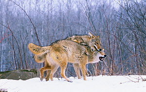 Coyotes (Canis latrans) interacting to establish dominance among the pack, North America.  -  Visuals Unlimited