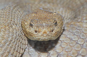 Head view of the Aruba rattlesnake (Crotalus durissus unicolor) showing the eyes and loreal pits, Aruba. - Visuals Unlimited
