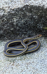California whipsnake / Striped racer (Masticophis lateralis) California, USA.  -  Visuals Unlimited