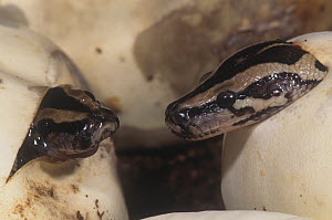 Burmese pythons (Python molurus) hatching from an egg, Southeast Asia. - Visuals Unlimited