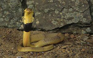 Egyptian banded cobra (Naja haje annulifera) with its hood open, North Africa.  -  Visuals Unlimited