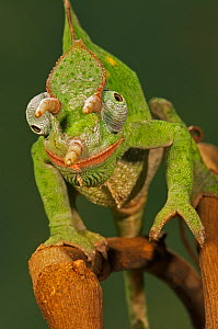 Usambara three-horn chameleon (Chamaeleo deremensis)  -  Visuals Unlimited