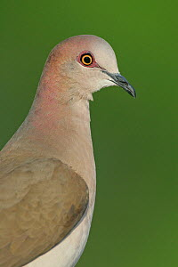 White-tipped dove head (Lepotila verreauxi) Texas, USA. - Visuals Unlimited