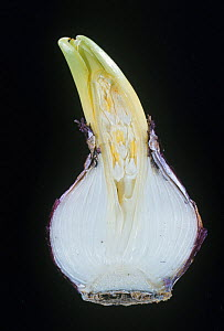 Dutch / Garden Hyacinth (Hyacinthus orientalis) bulb sectioned to show the flower bud, Liliaceae. - Visuals Unlimited