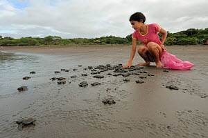 Local woman volunteer watching over Olive ridley sea turtle hatchlings (Lepidochelys olivacea) on their way to the sea. Ostional NP, Costa Rica, October  -  Solvin Zankl