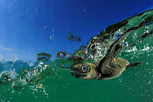 Baby Olive Ridley sea turtle (Lepidochelys olivacea) struggles against the swell to swim away from the beach where it hatched, Ostional, Costa Rica. October. Winner of the Underwater category of the G... - Solvin Zankl