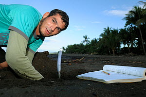 A Costa Rican researcher monitors the temperature in the developing sea turtle nests at Ostional beach, Costa Rica, November 2009. ^^^ Sea turtles have, like many other reptiles, temperature-dependent...  -  Solvin Zankl