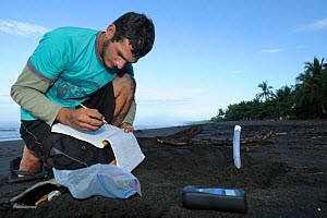 A Costa Rican researcher monitors the temperature in the developing Olive Ridley sea turtle nests at Ostional beach, Costa Rica, November 2009. ^^^ Sea turtles have, like many other reptiles, temperat...  -  Solvin Zankl